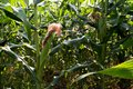 Large corn fields Image near the corn tree that is just growing Planted together in large numbers, with corn pods growing up with Royalty Free Stock Photo