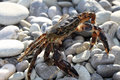 Large crab on beach close up pebble Royalty Free Stock Image