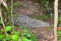 Large Crocodile Royalty Free Stock Photo