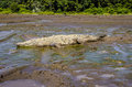 Large crocodile lying in the mud Stock Photography