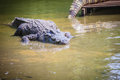 Large crocodile lying in still water for sunbathing. A large cro Royalty Free Stock Photo