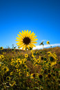 Large daisy flower field against blue sky Royalty Free Stock Photo