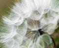 Large dandelion flowers parachutes Royalty Free Stock Image