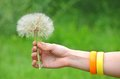 Large dandelion in hand Royalty Free Stock Photo