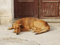 Large dog lying door Royalty Free Stock Photos