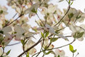 Large Dogwood Blossoms With sunlight Streaming Through Royalty Free Stock Photo