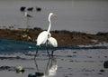 Large egret bird sanctuary india photo taken in shallow water body at bhigwan Royalty Free Stock Photo