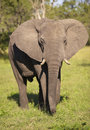 Large elephant bull Royalty Free Stock Photo
