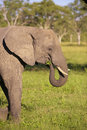 Large elephant bull Royalty Free Stock Photography