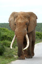Large elephant bull with tusks walking down road Royalty Free Stock Image