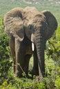 Large elephant eating Stock Image