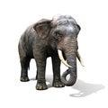 Large elephant isolated on a white background