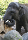 Large elephant with tusks head turns logs gray and trunk big ears zoo wild nature Stock Image