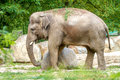 Large elephant walks in the enclosure of the zoo