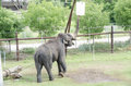 Large elephant at zoo this is a with tusks a in its enclosure Royalty Free Stock Photography