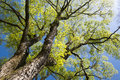 Large elm tree branches spread full in spring Royalty Free Stock Photography