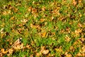 Large fallen Western Sycamore tree Platanus racemosa leaves on new grass meadow in autumn, California Royalty Free Stock Photo