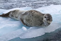 Large female leopard seal lying on ice Royalty Free Stock Photo