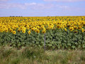Large Field of Sunflowers Royalty Free Stock Photo