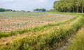 Large field with young red and green cabbage plants in curved li Royalty Free Stock Photo