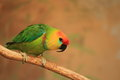 Large fig parrot Royalty Free Stock Photo
