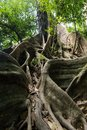 Large fig tree roots Royalty Free Stock Photo
