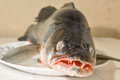 Large fish zander lying on a platter Royalty Free Stock Photo