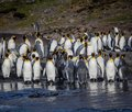 Large flock of adult king penguins in South Georgia Royalty Free Stock Photo