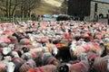 Large flock of colorful Herdwick sheep in farmyard Royalty Free Stock Photo
