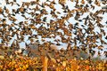 A large flock of common starlings takes off from the vineyard. Royalty Free Stock Photo