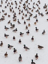 Large flock ducks snow Royalty Free Stock Image