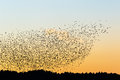 Large flock of jackdaws in sunset