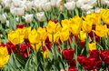 Large flower bed with white, red and yellow tulips in the park. Royalty Free Stock Photo