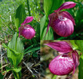 The Large-flowered Cypripedium Royalty Free Stock Photo