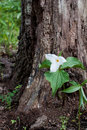 Large-flowered trillium guarded by a tree Royalty Free Stock Photo