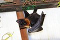 Large flying fox the pteropus vampyrus fuengirola hanging upside down Stock Photography