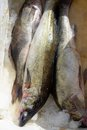 Large fresh frozen pike perch fish in ice Royalty Free Stock Photo