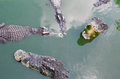 A large freshwater crocodile, Scary crocodiles in water. Royalty Free Stock Photo