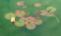 Large frog resting on lily pad Royalty Free Stock Photo