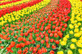Large garden with blooming red and yellow tulips streams of in different colors photographed at an ourdoor park in the netherlands Stock Photos