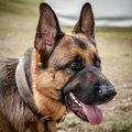 Large german shepherd dog with collar and head halter alert tongue out in a leather black Royalty Free Stock Image