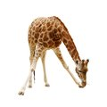 Large giraffe isolated on a white background Royalty Free Stock Photo