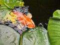 Large golden fish, koi carp Royalty Free Stock Photo