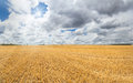 Large golden yellow stubble field Royalty Free Stock Photo