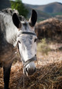 Large gray donkey eating straw on a background of nature Royalty Free Stock Photography