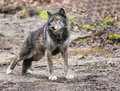 Large Gray Wolf stretches his back legs. Royalty Free Stock Photo