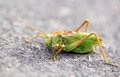 Large green grasshopper locust Royalty Free Stock Photo