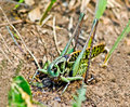 Large green grasshoppers. Stock Photo