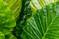 Large Green Leafs Wet With Rai...
