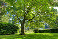 Large green oak tree near historical house summer Royalty Free Stock Images
